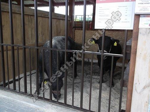 Племенные быки абердин-ангусской породы | Всероссийский день поля 2016